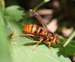 キイロスズメバチの女王蜂