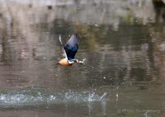 杜のフィッシャー「水面を翔」