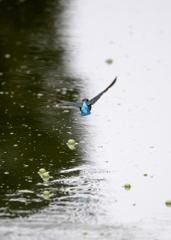 杜のフィッシャー「水面を翔ける」