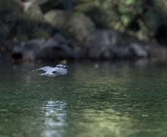 ヤマセミ 水面を飛ぶ