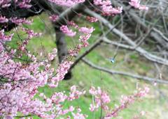 杜のフィッシャー「桜咲く木立を抜けて」