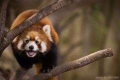 ぼく、レッサーパンダです!