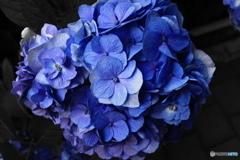 ~紫陽花~
