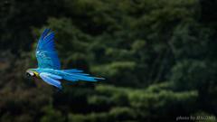 Bird Performance Show ~コンゴウインコ~