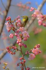 春の三色団子  ~メジロ添え~