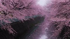 桜色、舞う頃