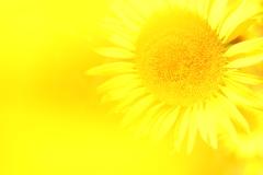 黄色のFANTASY