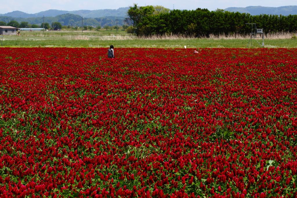 5月のひまわり畑