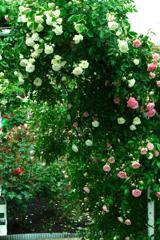 薔薇の中を行く