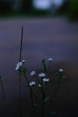 白い花の咲く道で