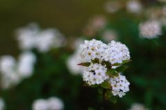 小さくて白い花