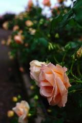 薔薇さんぽ