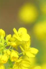 黄色い季節