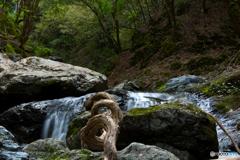 野鹿の滝、巻き付く木