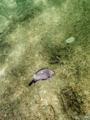 柏島の魚達#5ウロコ丸見え