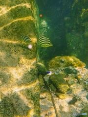 柏島の魚達#8ポピュラー魚