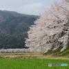 中桜花の郷