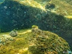 柏島の魚達#9ハリセンボン