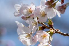 桜あれこれ4