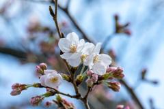 桜あれこれ6