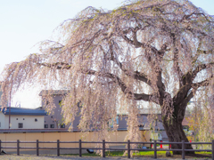 しだれ桜…