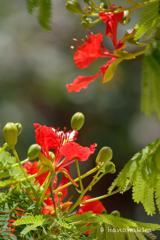 ホウオウボクの花-2