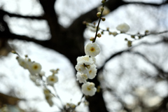 湯島神社の白梅(3)