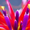 ブラキカウロスの花観察日記