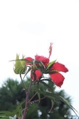 花の向かう先から晴れるはず (モミジアオイ)