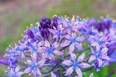 紫が噴きあがる