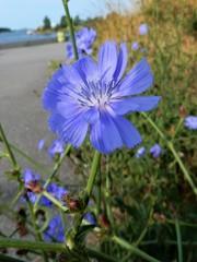 野原への道標 - チコリ  (コペンハーゲンの野原の花)