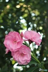 日陰の不屈のピンク (キョウチクトウ)