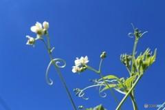 風船を飛ばすために高く咲かなければ (フウセンカズラ)