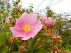人気者のノバラ (コペンハーゲンの野原の花)