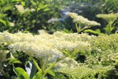 白銀がささやいている、冬にも来てね。 (ストックホルムの花 6)