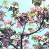 見上げると春のメロディ (ハナミズキ)