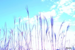 淡い冬の青空 (ススキ 13)