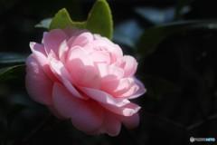乙女椿の季節