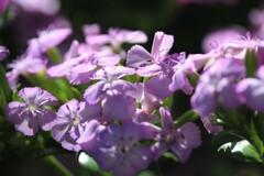うす紫の木陰