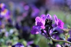 おーい 紫色の仲間たち   (リナリア)