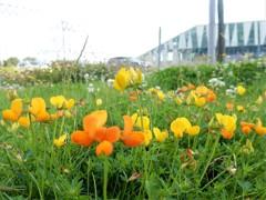 やあ お疲れさん (コペンハーゲン ベラセンターの芝生の花)