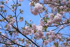 白は気高く (八重桜)