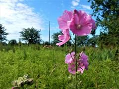 ピンクの旗を立てよう (コペンハーゲンの野原の花)
