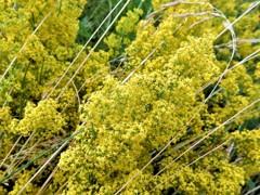 囚われの優しい黄色 (コペンハーゲンの野原の花)