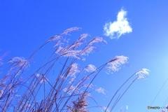 春の先取りの青空 (ススキ 14)