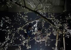 ういろうの花