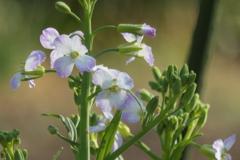 P1000886 大根の花