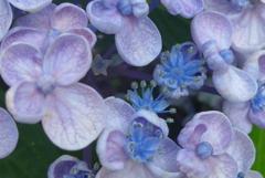 P1270638 お花も可愛いオタフクアジサイ