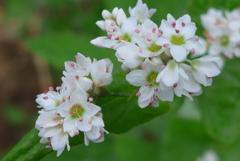 P1160621 ソバの花