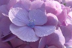 P1230885 あじさいの花